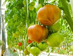 「金筋トマト」