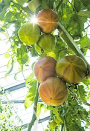 曽我農園を代表する「金筋トマト」