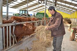 牛に牧草を与えながら経営改善を祈る農家