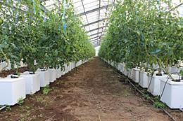 水稲育苗ハウスを有効活用した抑制トマト。「うぃずOne」活用で1680本を定植