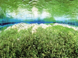 富士山に降った雨や雪が豊富な湧水となって現れている「柿田川」の水中写真。平成23年に柿田川湧水群は天然記念物に指定された。(静岡県清水長提供)