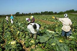 加工業務用野菜の収穫のようす