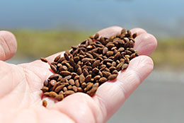水稲の生産費削減への効果が期待される鉄コーティング種子