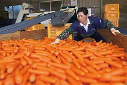 収穫したニンジンを選別する島田さん