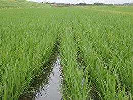 飼料米 増産へ着々 目標達成へさらに一歩