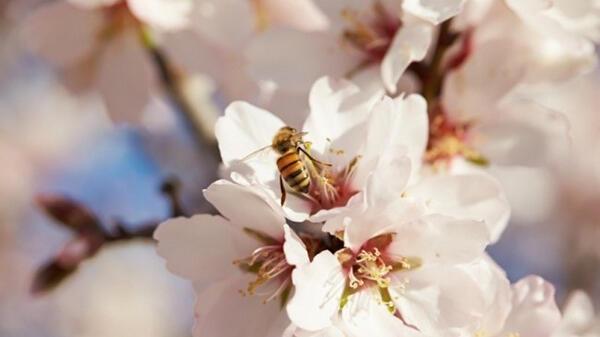 ミツバチの保護活動に注力-カリフォルニア・アーモンド協会