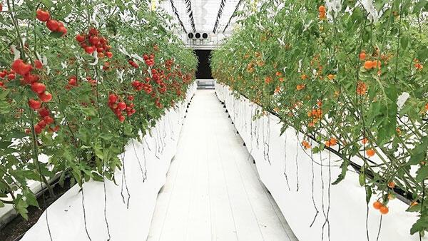 太陽光利用型環境制御ハウスの内部