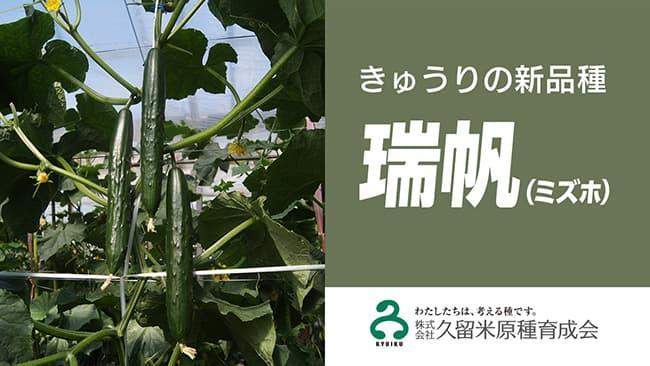 きゅうりの新品種 複合耐病性「瑞帆」発売