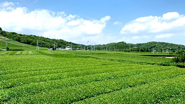 静岡県で茶産地育成事業を開始 伊藤園