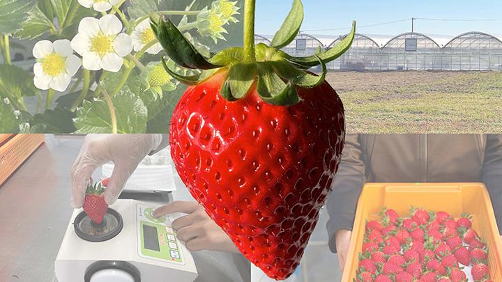 AI栽培いちご「よつぼし」から糖度13度以上の「四重奏」発売 丸進青果