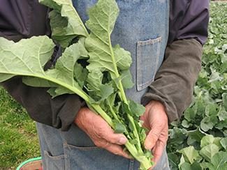 多摩区名産の「のらぼう菜」