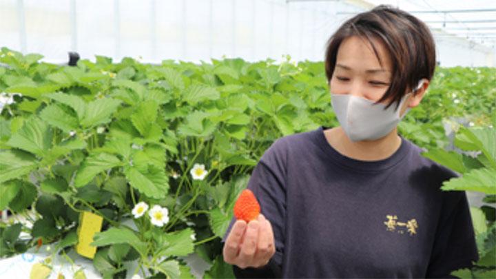 同社イチゴのハウス内で収穫