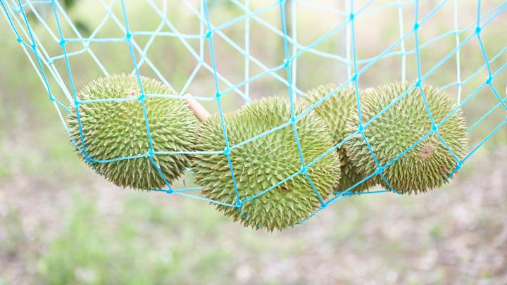 マレーシア産のドリアンは完熟後、自然に落果し、地表付近のネットで受け止める