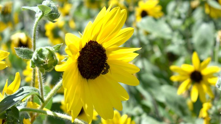 ミツバチの蜜源となるヒマワリ